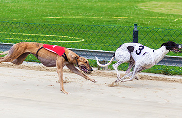 Knockout Night at the Dogs